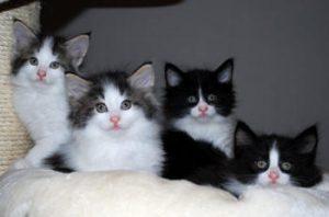 En kat er kun en racekat, hvis den har en stamtavle.  Stamtavlen skal leveres sammen med katten!